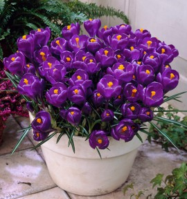 CROCUS FLOWER RECORD