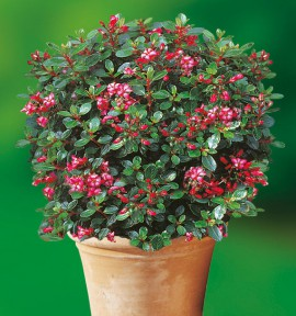 ESCALLONIA NAIN RED DREAM