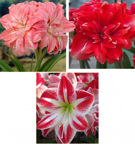 COLIBRIANT 3 AMARYLLIS : 1 LADY JANE + 1 DOUBLE DREAM + 1 SPARTACUS