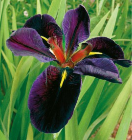 IRIS DE LOUISIANE BLACK GAMECOCK
