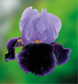 IRIS GERMANICA BELLE DE NUIT