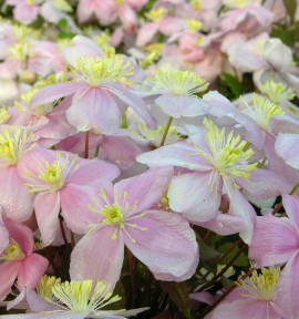 CLEMATITE PINK PERFECTION