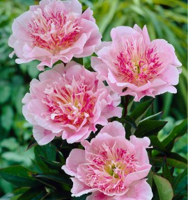 PIVOINE DO TELL