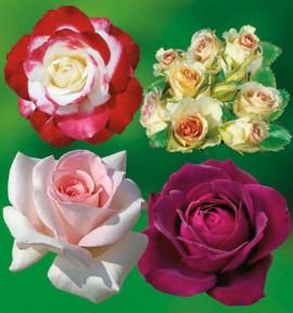 COLIBRIANT 4 ROSIERS BUISSONS : 1 DOUBLE DELIGHT + 1 GRETA + 1 PRINCE JARDINIER + 1 GRAFIN VON HARDENBERG