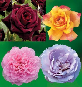 COLIBRIANT 4 ROSIERS BUISSONS : 1 BLACK BACCARA + 1 SUTTER'S GOLD + 1 BORNEO ODORE + LADY PERFUME