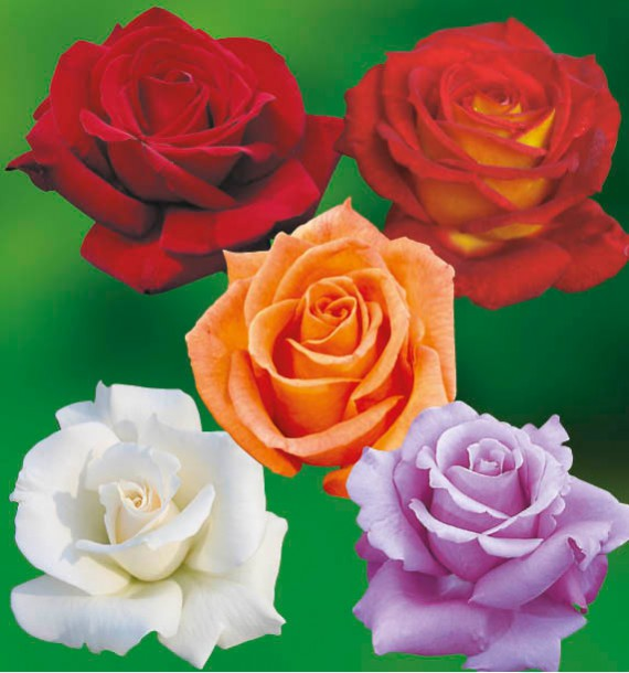 COLIBRIANT 5 ROSIERS BUISSONS : 1 BICOLETTE + 1 POEMA + 1 VIOLET PERFUME + 1 JORO + 1 PASCALI