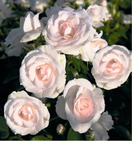 ROSIER ASPIRIN ROSE® Taniripsa
