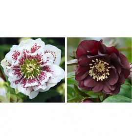COLIBRIANT 2 HELLEBORES DOUBLES ELLEN® : 1 WHITE SPOTTED + 1 DOUBLE PURPLE
