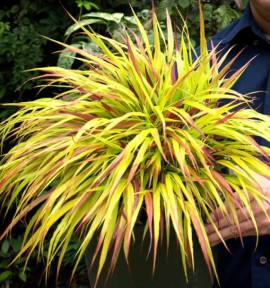 HAKONECHLOA SUNFLARE®