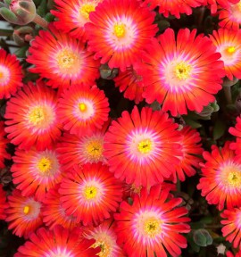 DELOSPERMA JEWEL OF DESERT® GRENADE