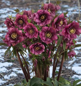 HELLEBORE KING DOUBLE DARK RED