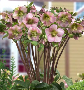 HELLEBORE KING LIGHT PINK