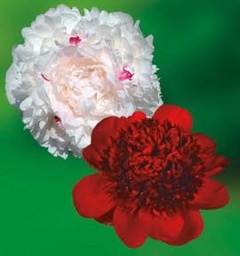 COLIBRIANT 2 PIVOINES : 1 FESTIVA MAXIMA + 1 RED CHARM