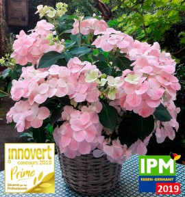 HORTENSIA FRENCH BOLERO®