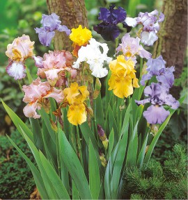 5 IRIS GERMANICA EN MELANGE