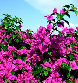 BOUGAINVILLIER VIOLET DE MEZE