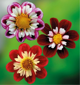 COLIBRIANT 6 DAHLIAS A COLLERETTES : 2 FABULA + 2 FESTIVO + 2 MARY EVELYN