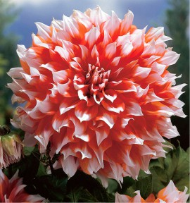 DAHLIA DECORATIF HOLLAND FESTIVAL