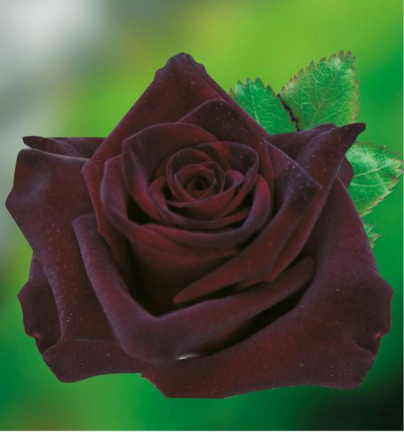ROSIER BUISSON BLACK BACCARA® Meidebenne