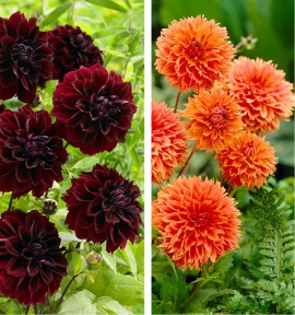 COLIBRIANT 6 DAHLIAS FRANGES : 3 DARK FUBUKI + 3 ORANGE IMPACT
