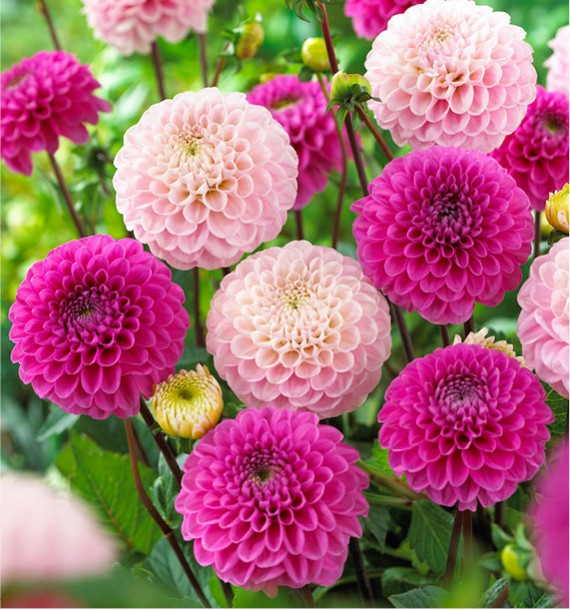 DAHLIAS BALLES WIZARD OF OZ et HAPPY HOUR
