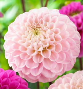 DAHLIAS BALLES WIZARD OF OZ