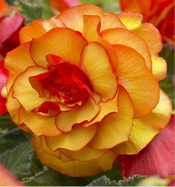 BEGONIA PICOTEE YELLOW
