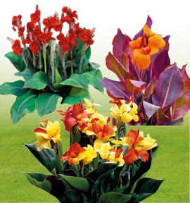 COLIBRIANT 5 CANNAS : 2 ETOILE DE FEU + 2 CLEOPATRA + 1 DURBAN