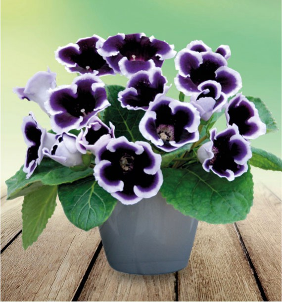 GLOXINIA EMPEREUR GUILLAUME