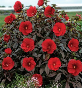 HIBISCUS SUMMERIFIC® MIDNIGHT MARVEL