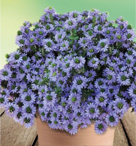 SCAEVOLA FANCY BLUE