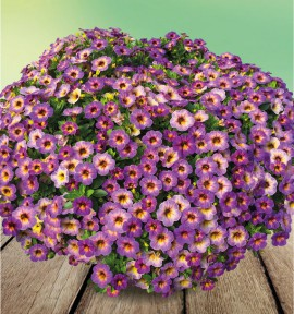 CALIBRACHOA CHAMELEON® BLUEBERRY SCONE