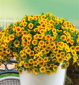CALIBRACHOA CALISTATIC® MANGO