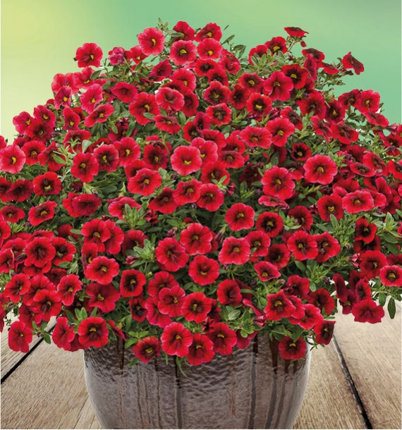 CALIBRACHOA SUPERBELLS® POMEGRANATE PUNCH