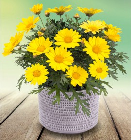 ANTHEMIS DAY-ZEE® YELLOW