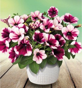 PETUNIA SWEETUNIA® 'PURPLE TOUCH'
