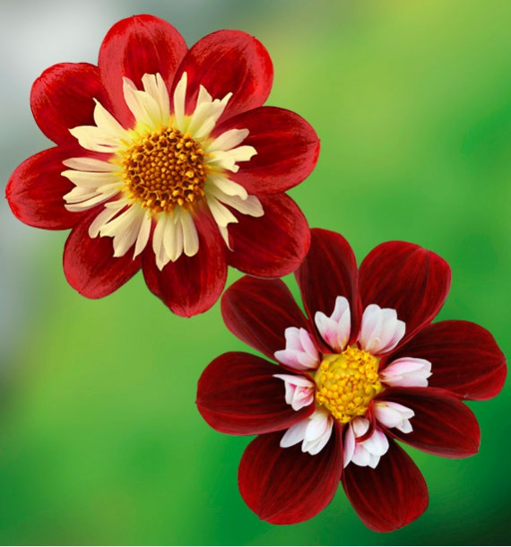 COLIBRIANT 4 DAHLIAS A COLLERETTES : 2 FESTIVO + 2 MARY EVELYN