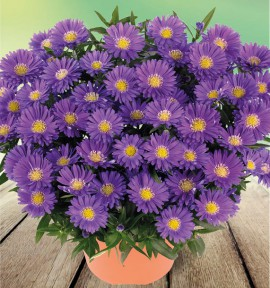 ASTER NAIN D'AUTOMNE BLUE LAGOON
