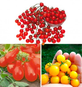 COLIBRIANT 3 TOMATES APERITIVES A PLANTER : 1 POIRE ROUGE + 1 STARGOLD + 1 SWEET 100