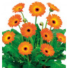 GERBERA GARVINEA® SWEET SUNSET