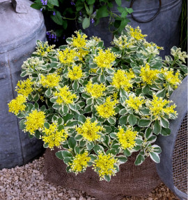 SEDUM ATLANTIS® Nonsitnal