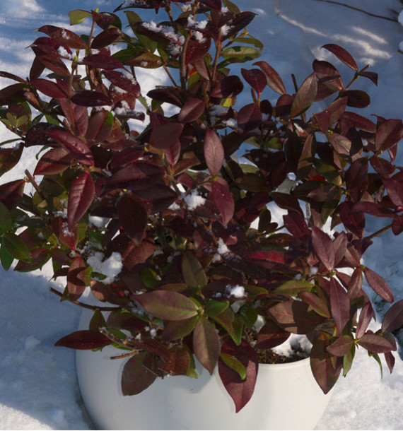JASMIN ETOILE WINTER RUBY® Trared