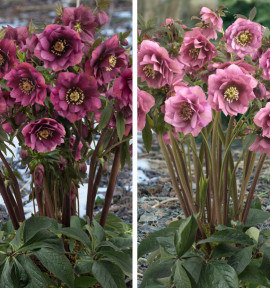 COLIBRIANT 2 HELLEBORES KING : 1 DOUBLE DARK RED + 1 DOUBLE PINK