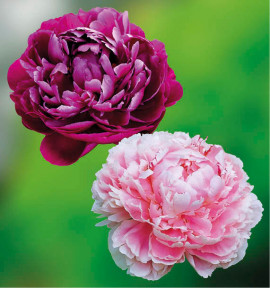 COLIBRIANT 2 PIVOINES HERBACEES : 1 PETER BRAND + 1 SARAH BERNHARDT