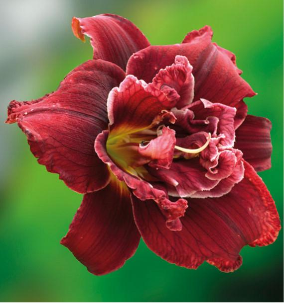 HEMEROCALLE DOUBLE RED ROYAL