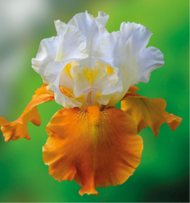 IRIS GERMANICA FALL FIESTA