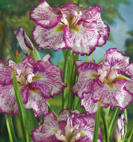 IRIS FRECKLED GEISHA