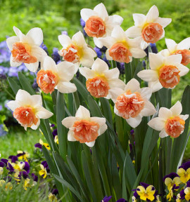 NARCISSE A FLEURS DOUBLES CANDY PRINCESS