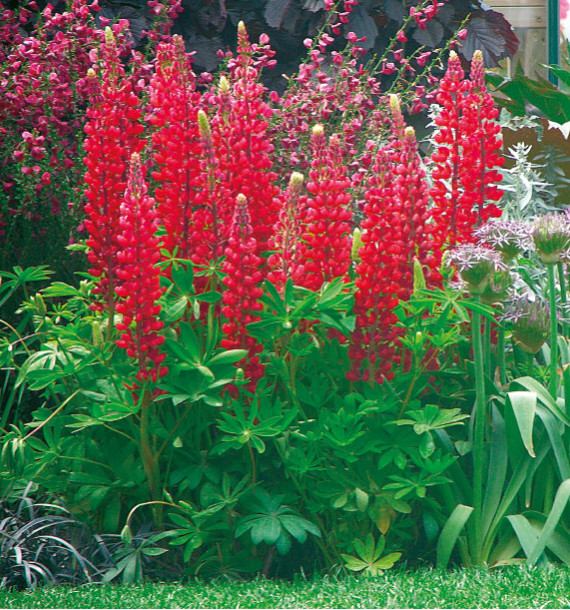 LUPIN ROUGE