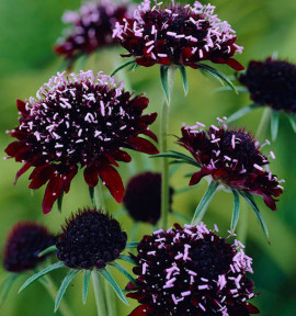 SCABIEUSE ATROPURPUREA CHILE BLACK
